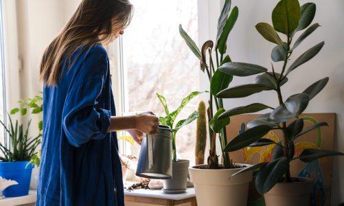 Wat is een Lievevrouwebedstro voor plant?